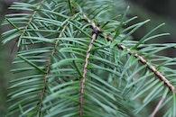 forest, pine tree, pine needles