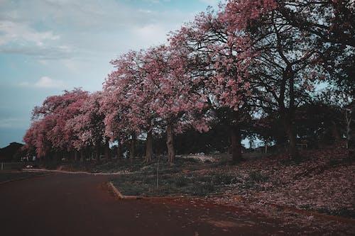 Imagine de stoc gratuită din anotimp, arbori, copac înflorit, creștere