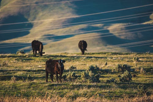 Three Cows on Green Grass