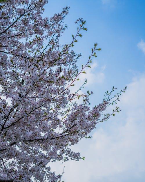 Foto stok gratis berwarna merah muda, biru, bunga, bunga musim semi
