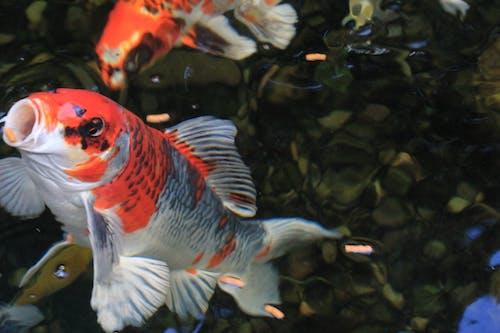こい, 池, 自然, 魚の無料の写真素材