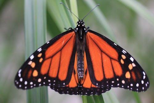 バタフライ, モナーク蝶, 昆虫, 美しいの無料の写真素材