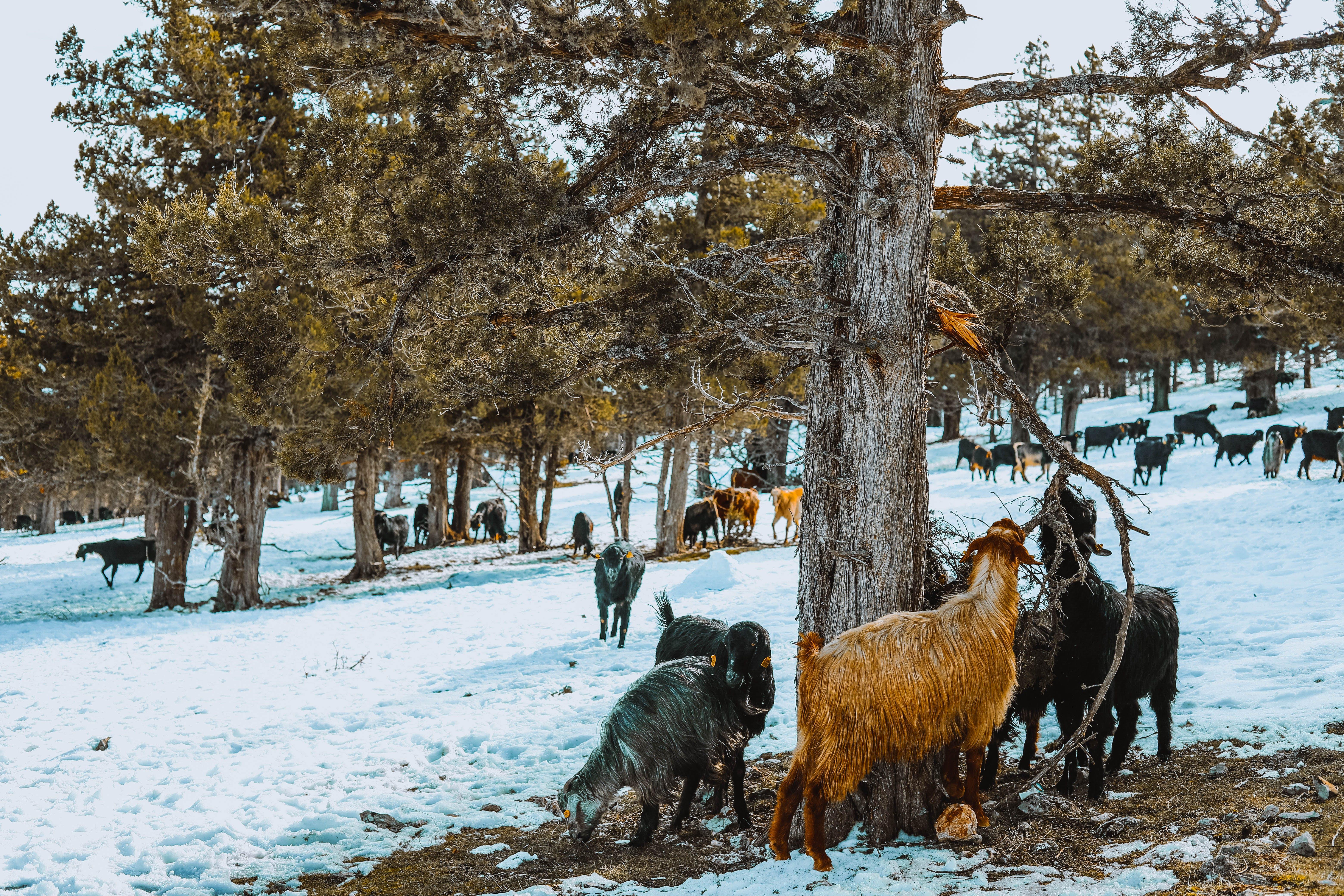 Základová fotografie zdarma na téma cestování, denní světlo, dřevo, kozy