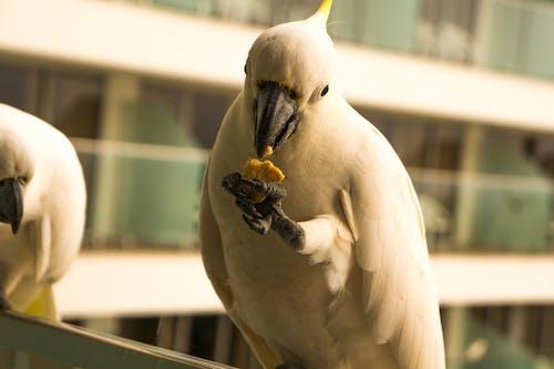 Kostnadsfri bild av Australien, fågel, fåglar, kakadua
