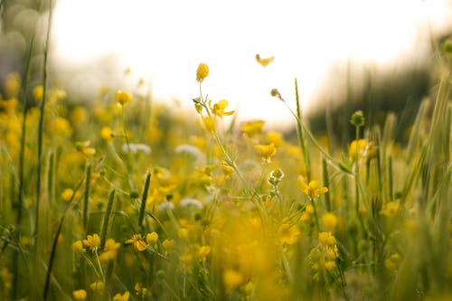 Delicate small yellow Ranunculus buttercup flowers growing in green meadow on sunny day