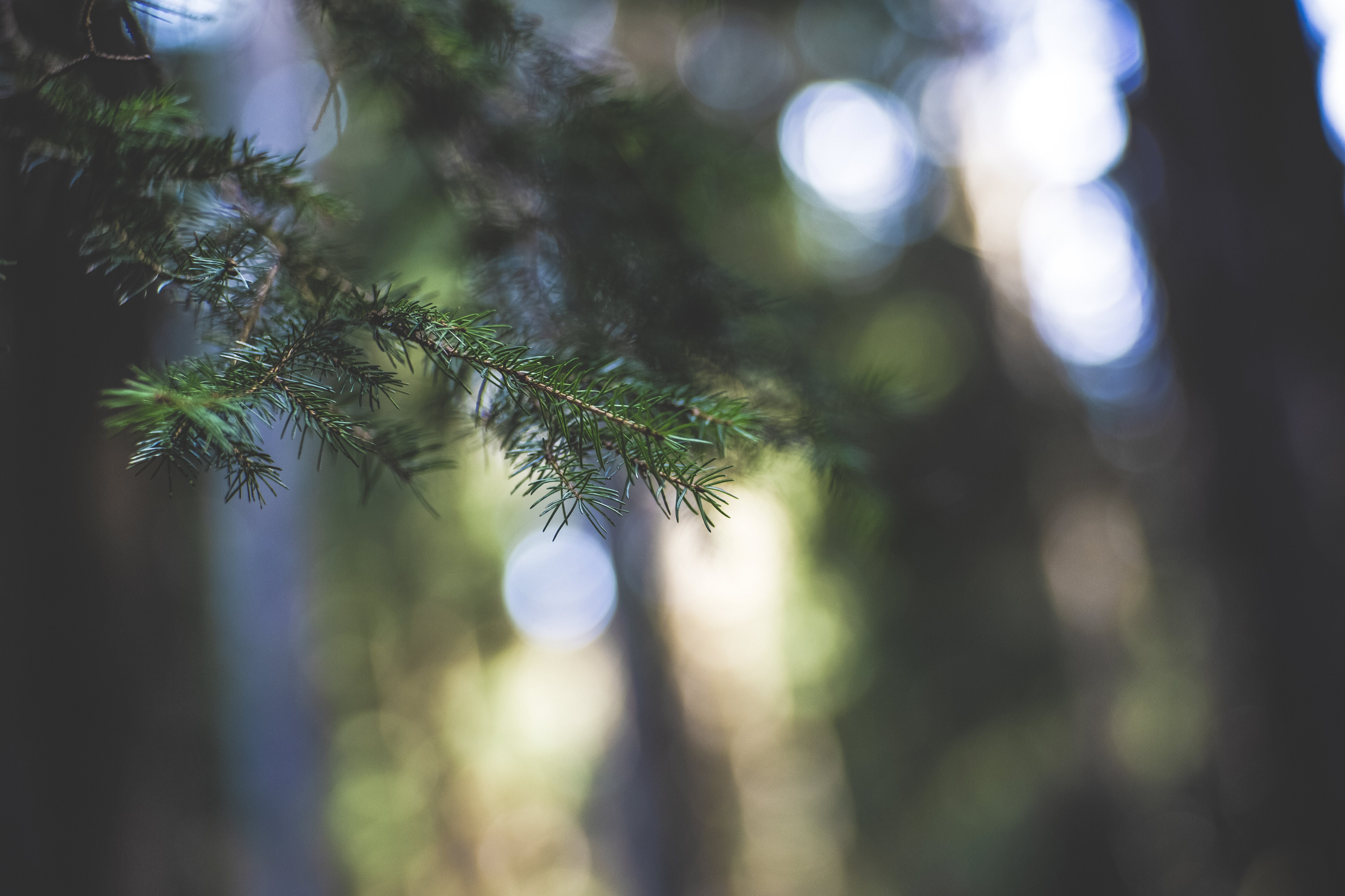 Selective Focus Photo of Fir Leaves