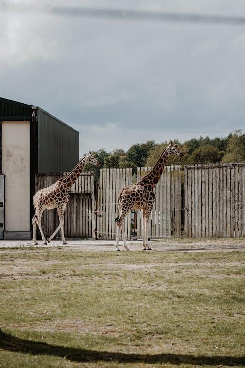 Ingyenes stockfotó állatfotók, állatkert, állatok, emlős témában