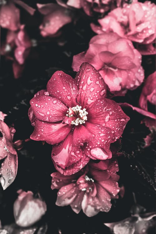 Close View of Pink Flowers With Water Droplets