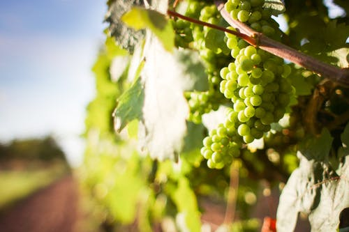 100+ Interesting Grapes Photos · Pexels · Free Stock Photos
