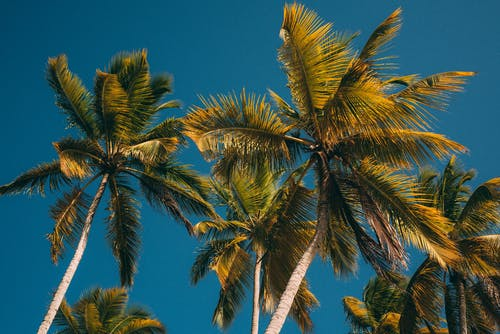 Green Coconut Tree Under Blue Sky