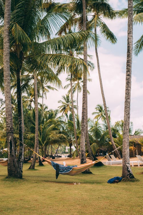 Green Palm Trees With Beige Hammock