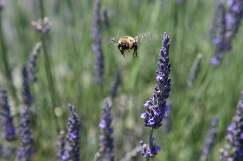 Free stock photo of Bee pollination lavender
