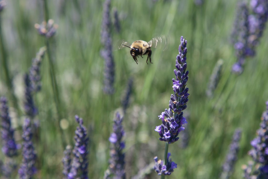 bee pollination lavendel