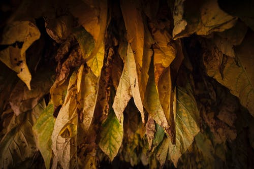 Free stock photo of #agbiopix tobacco crop agriculture