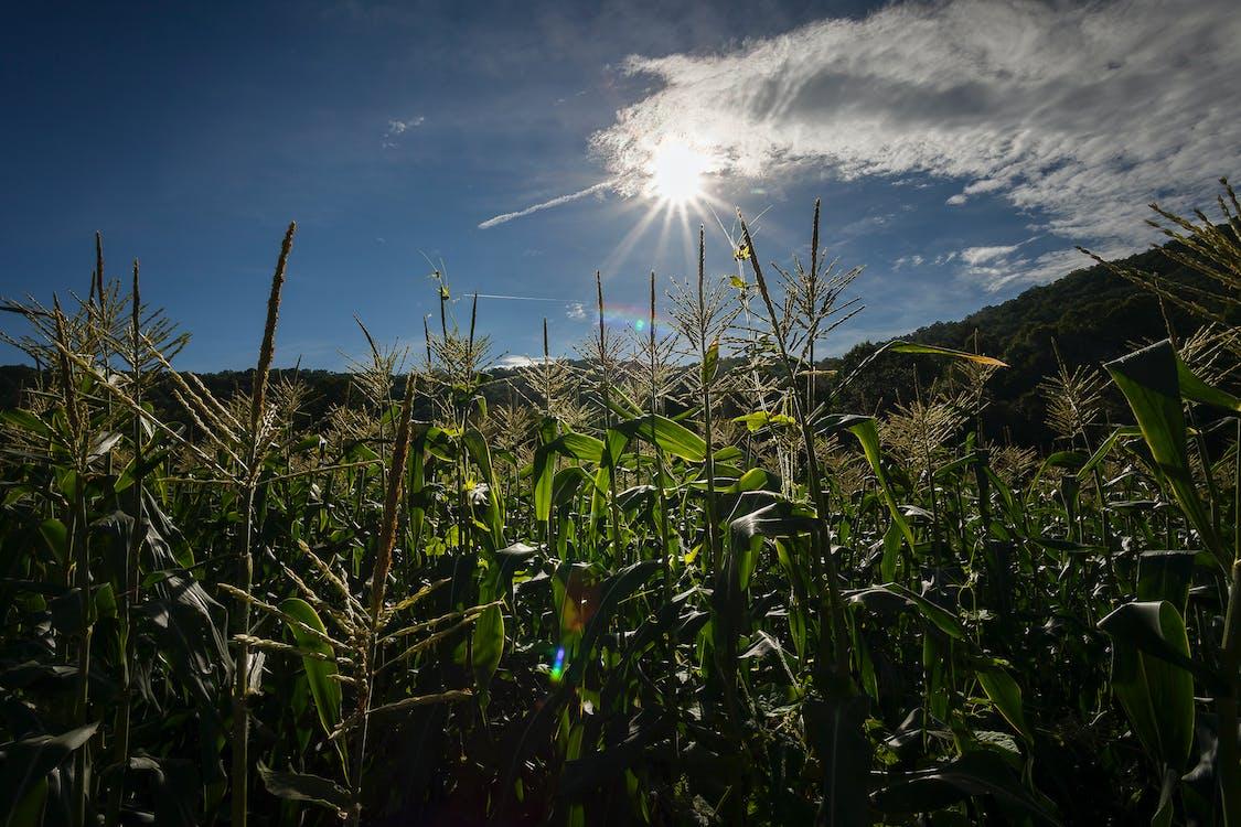 #agbiopix corn plodiny zemědělství