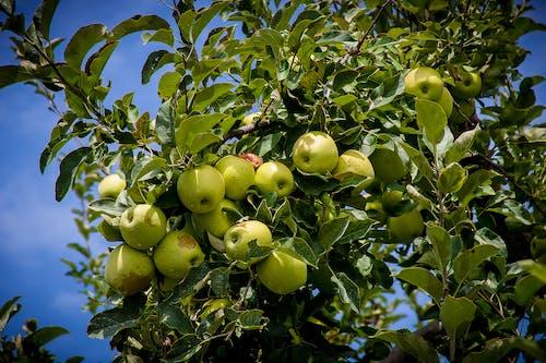 Gratis stockfoto met #agbiopix appels landbouw henderson county