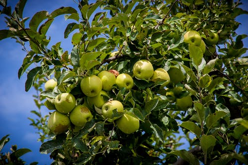 Foto stok gratis #agbiopix apel pertanian henderson county