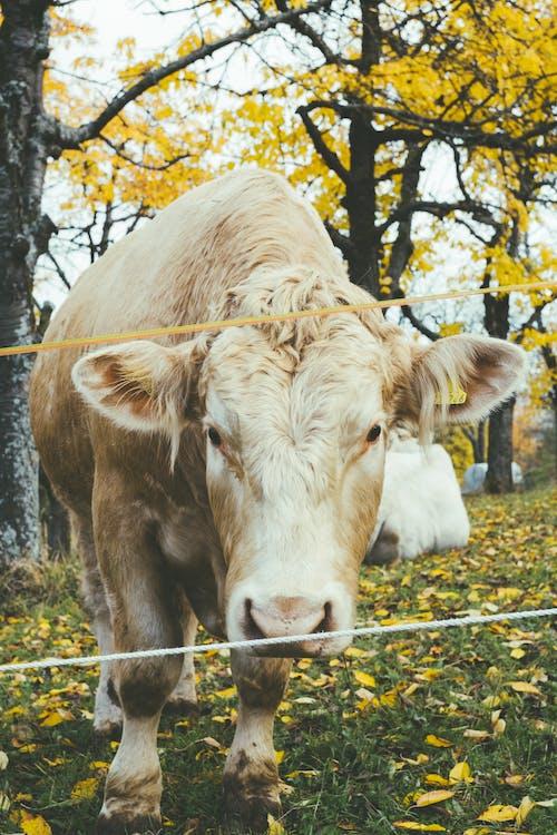 Безкоштовне стокове фото на тему «дерева, корова, літо, луг»
