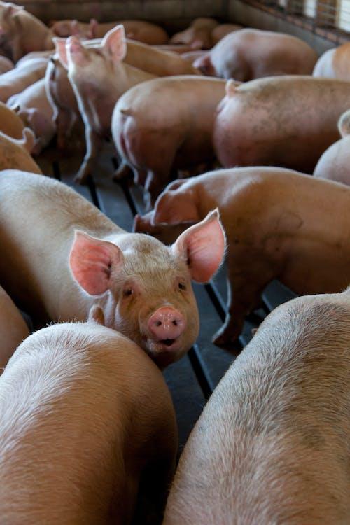 Grupo De Cerdos Rosados En Jaula