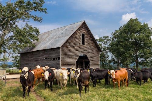 Ảnh lưu trữ miễn phí về ánh sáng ban ngày, bầy đàn, bò cái, cánh đồng