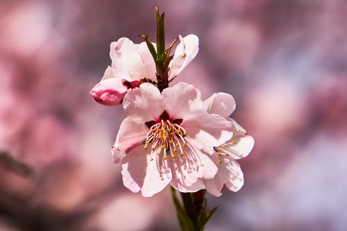 Kostenloses Stock Foto zu blumen, pflanzen, pink, tibet