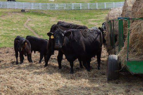 คลังภาพถ่ายฟรี ของ #agbiopix ฟาร์มปศุสัตว์ nca & t