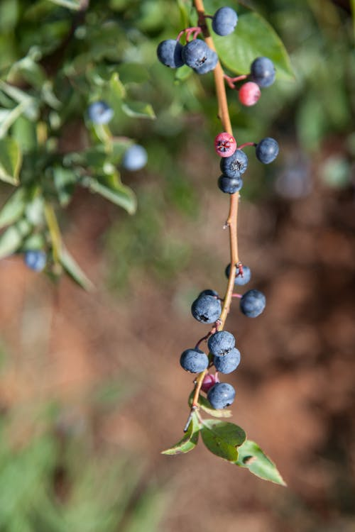 al aire libre, antioxidante, arándanos azules