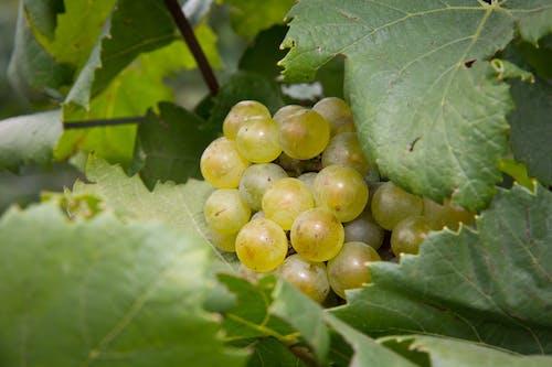 Ilmainen kuvapankkikuva tunnisteilla #agbiopix viinirypäleet viinitarha yadkin maatalous