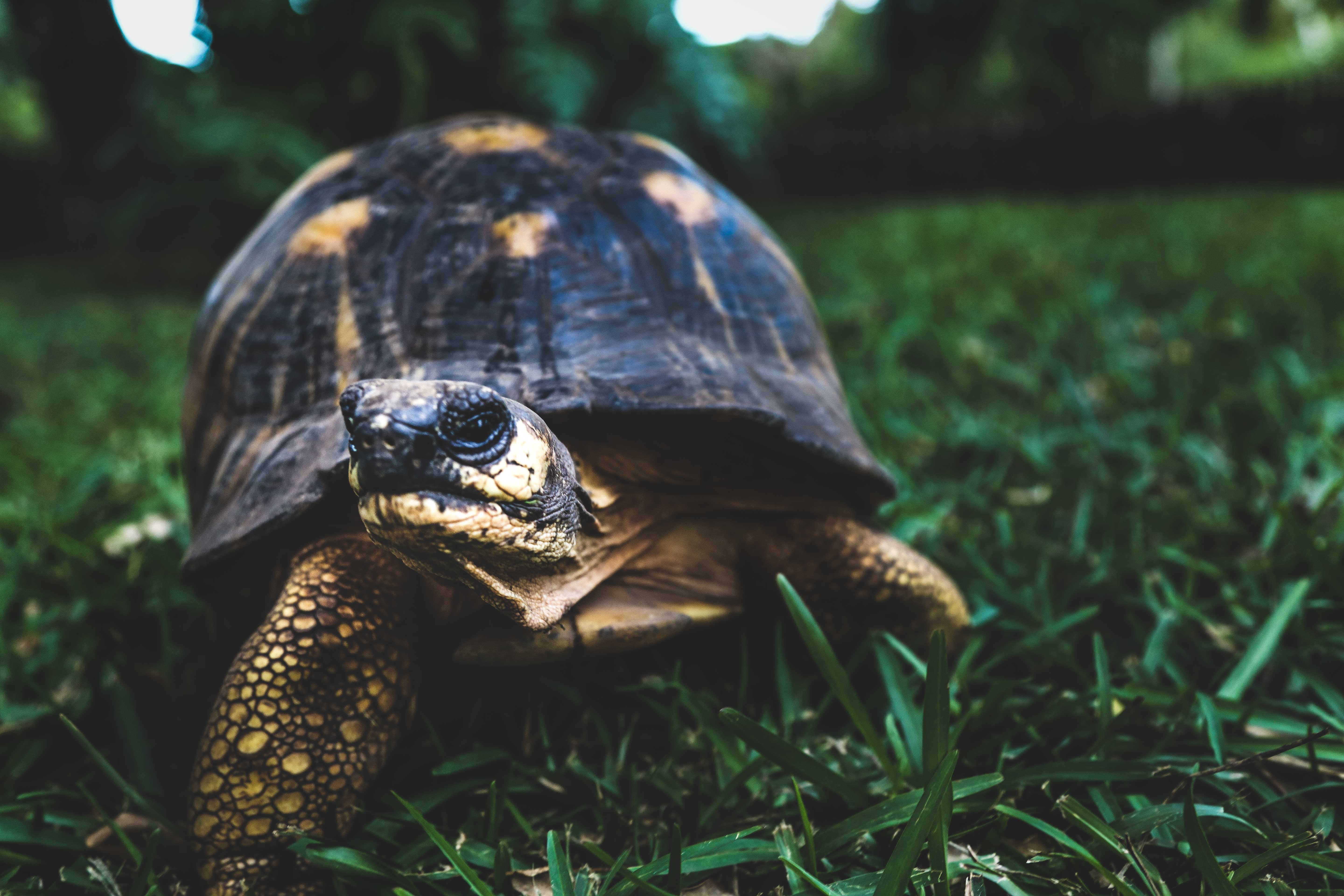 Brown Turtle on Green Grass