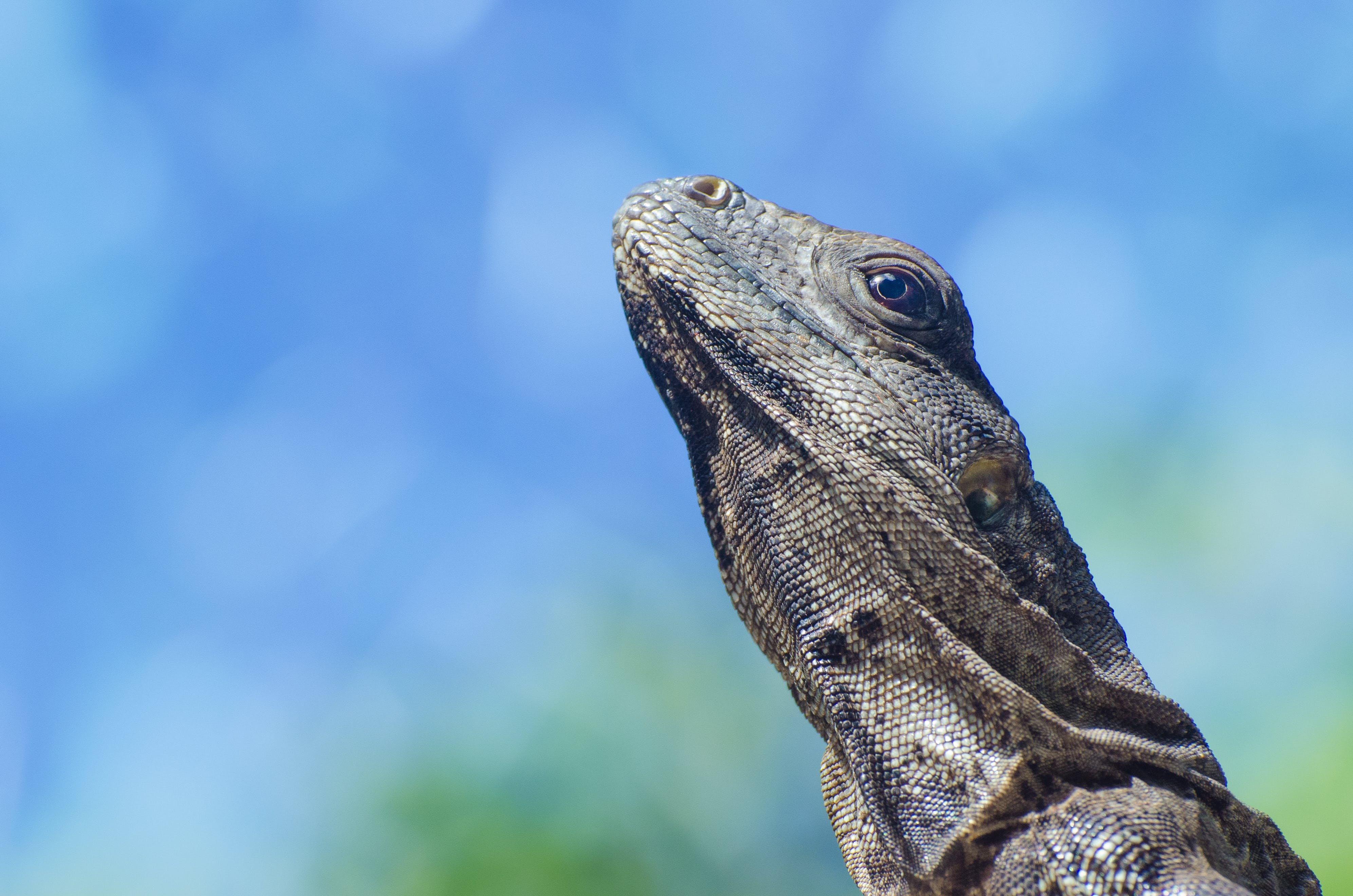 Selective Photography of Brown Monitor Lizard