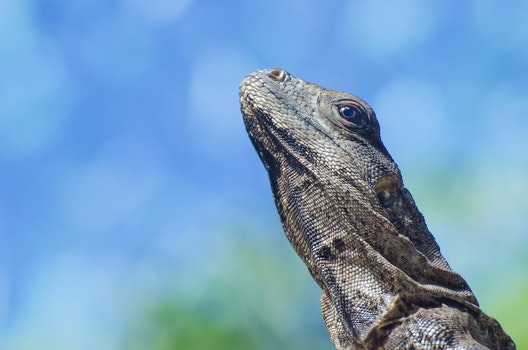 Free stock photo of animal, head, lizard, reptile