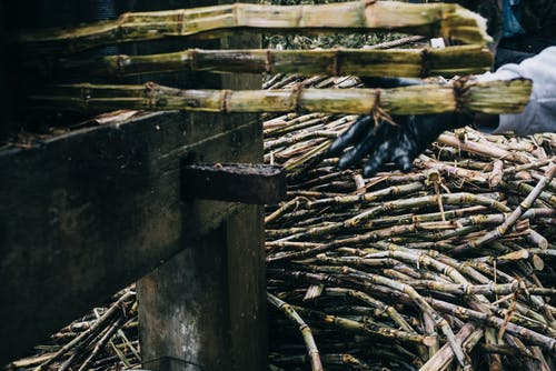 Free stock photo of country life, farming, outdoor, sugar cane