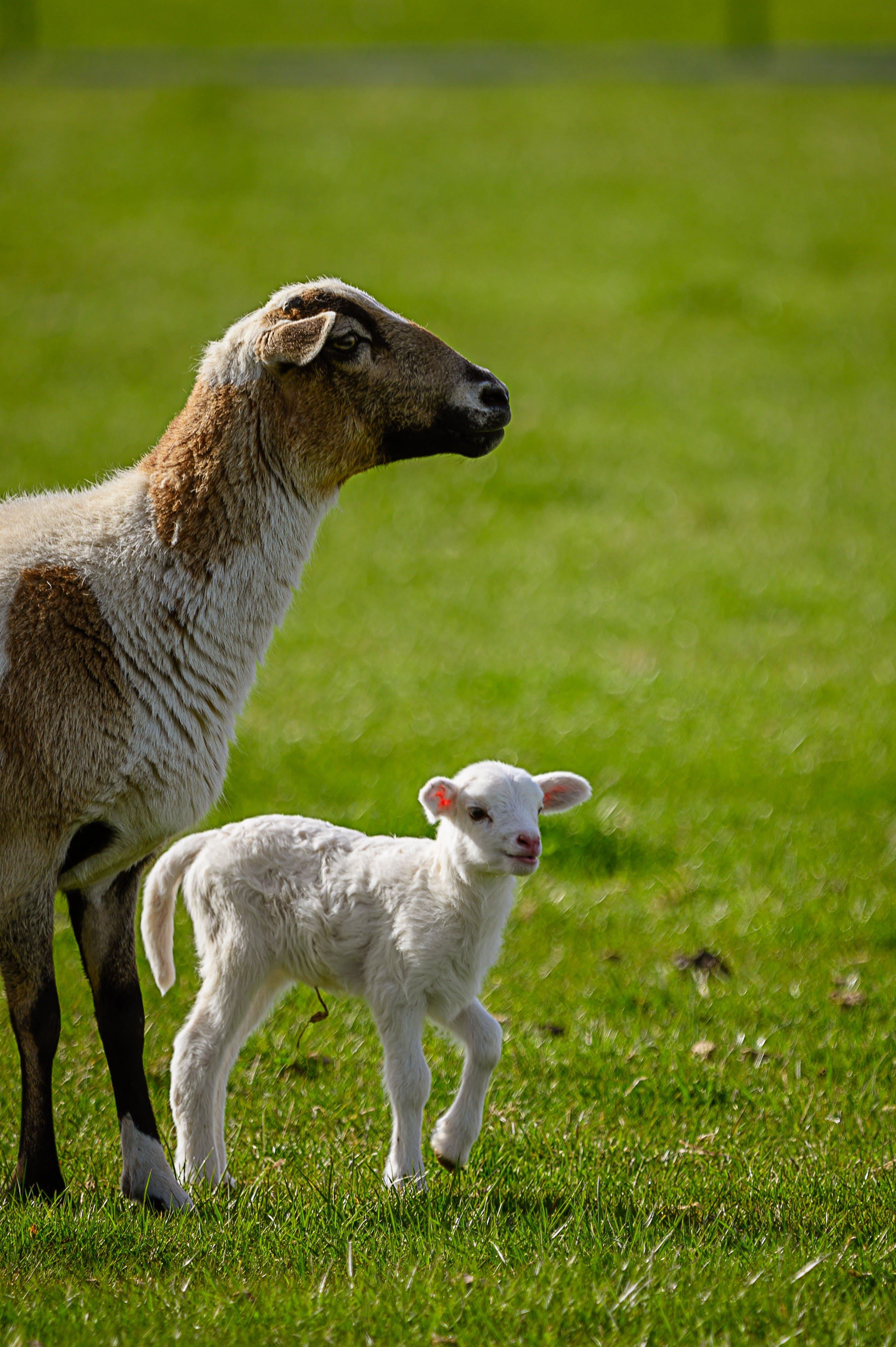 Fotos de stock gratuitas de agricultura, animal, campo, campo de heno