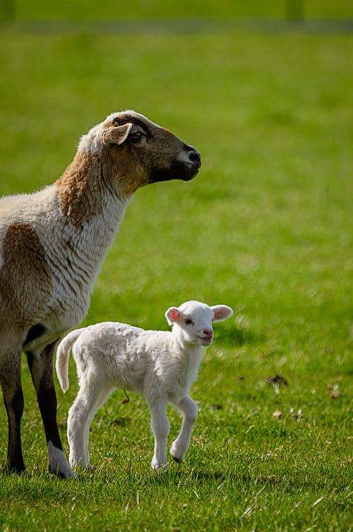 Goat and Kid on Grass