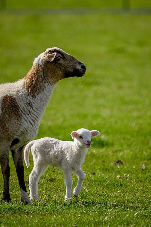 Foto d'estoc gratuïta de agricultura, animal, bufó, camp