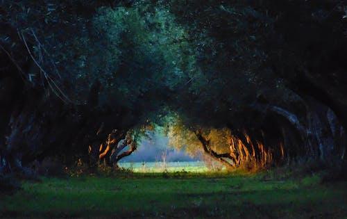 Foto d'estoc gratuïta de arbres, grove, verd fosc