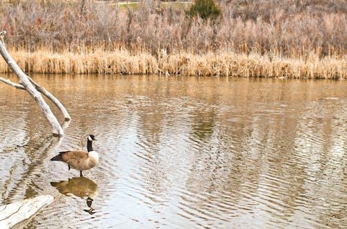 ガチョウ, パーク, 池の無料の写真素材