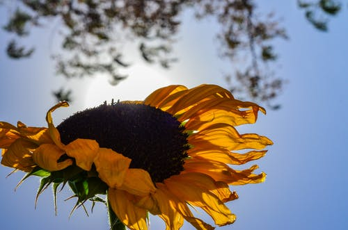 Free stock photo of sunflower, upside down