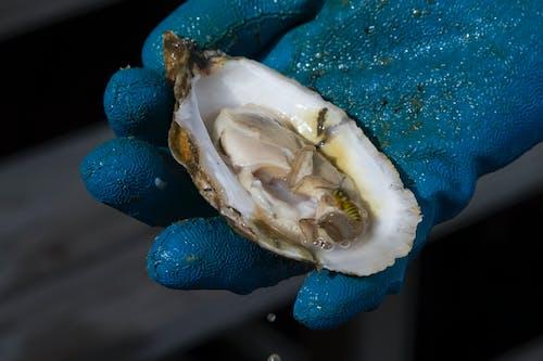 Ilmainen kuvapankkikuva tunnisteilla #agbiopix osteri mereneläviä maatalous
