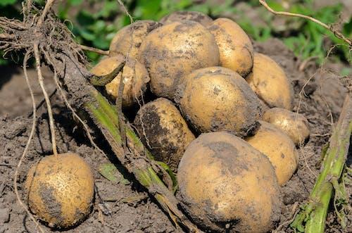 Ilmainen kuvapankkikuva tunnisteilla #agbiopix perunan sato maatalous
