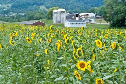 Ilmainen kuvapankkikuva tunnisteilla #agbiopix auringonkukka tutkimus maatalouden maatalous