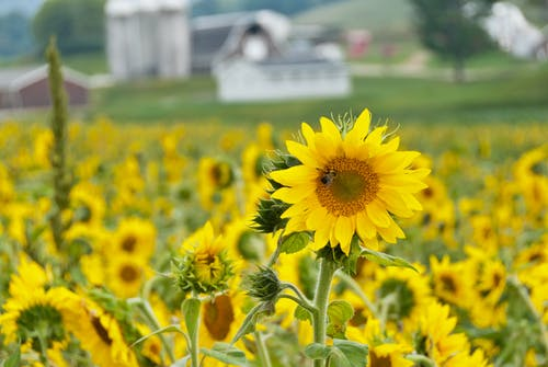Ilmainen kuvapankkikuva tunnisteilla #agbiopix auringonkukan tutkimusasema maatalous