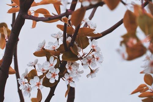 Безкоштовне стокове фото на тему «вишневий цвіт, відділення, дерево, квіти»