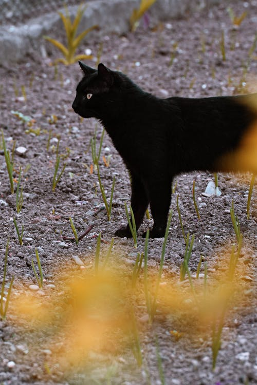 Black Coated Cat