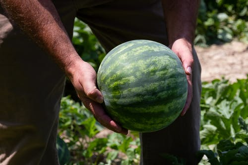 Close-up Photo of Person Holding Green Watermelon Fruit