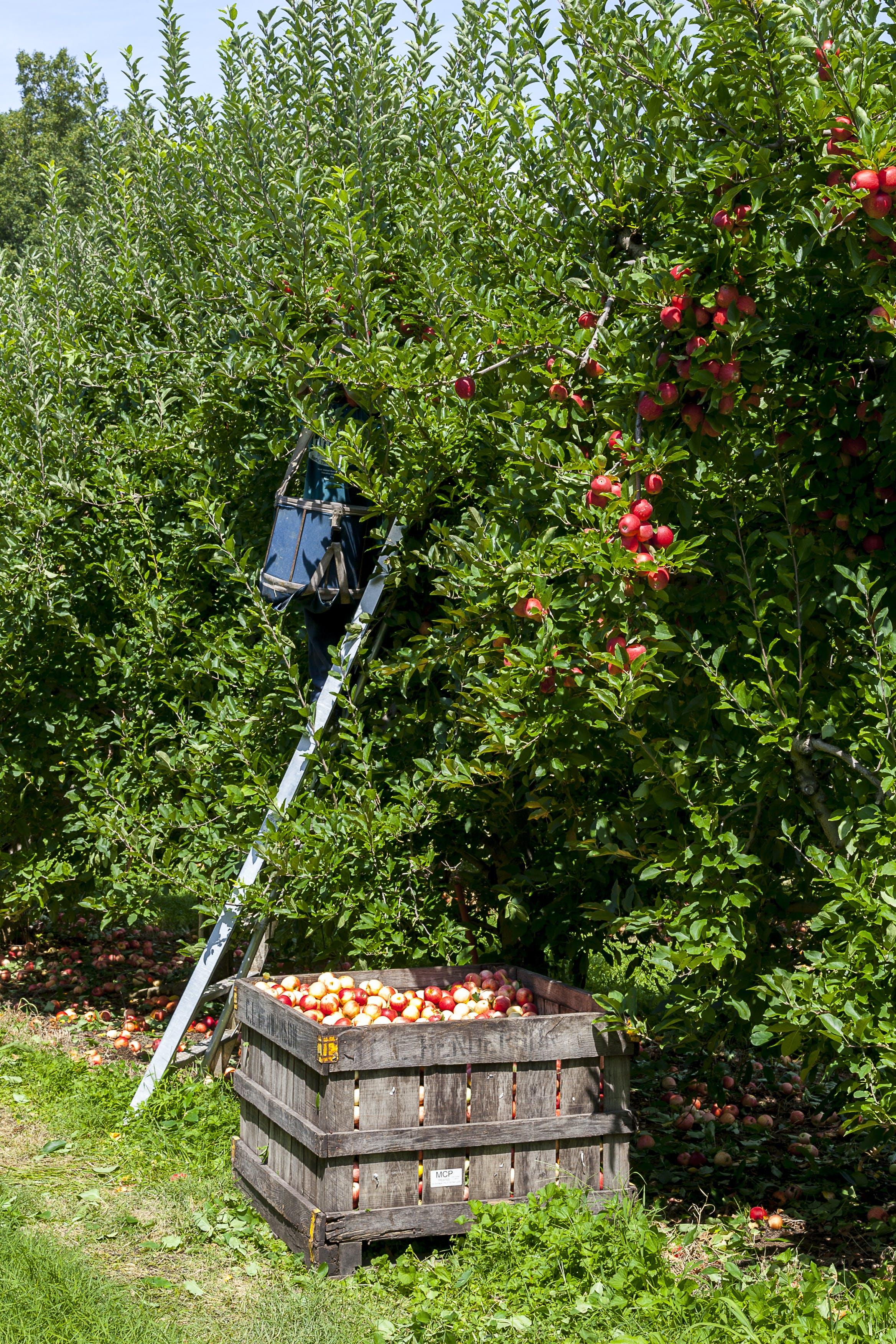 Ingyenes stockfotó ágak, almafák, almák, aratás témában