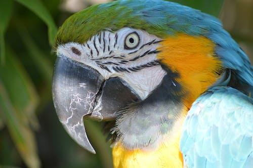 Free stock photo of animal, parrot