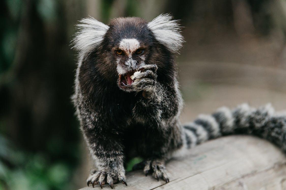 apa, djur, djurfotografi
