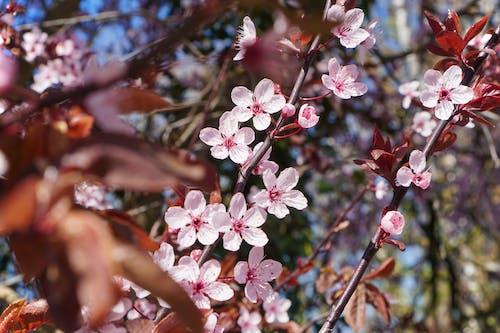 Kostnadsfri bild av blomma, rosa blommor, vårblommor