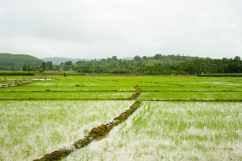Free stock photo of fields, green, india, rice fields